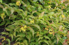 Bush Honeysuckle Trees And Shrubs, Landscape, Plants, Scenery, Landscape Paintings, Flora, Plant, Corner Landscaping, Planting