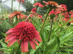 Echinacea 'Meteor Red' (Meteor Series) (coneflower)