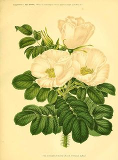 Rosa rugosa. The garden. An illustrated weekly journal of horticulture in all its branches  (1876). Illustration contributed by the University of Massachusetts Amherst Libraries, U.S.A.