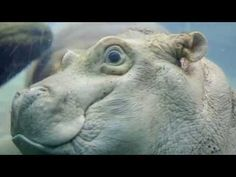 Video: Baby Hippo Goes For A Swim At The San Diego Zoo: LAist