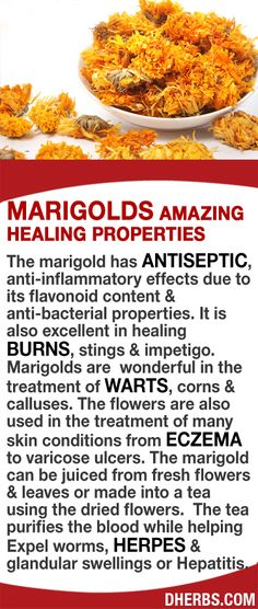 The marigold has antiseptic, anti-inflammatory & anti-bacterial properties. It is also excellent in healing burns, stings & impetigo. Marigolds are wonderful in treating warts, corns & calluses. The flowers are also used in the treatment of many skin conditions from eczema to varicose ulcers. The marigold can be juiced from fresh flowers & leaves or made into a tea using dried flowers. The tea purifies the blood while helping expel worms, herpes or Hepatitis. #dherbs #healthtips