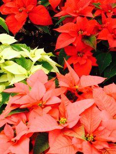 30 Most Inspiring Nochebuena Images Noche Buena Plants Y Xmas