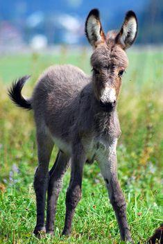 Donkey foal of Bildfaenger