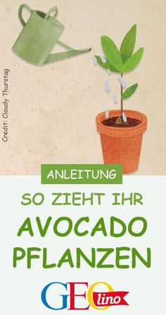 Pull the avocado plant- Avocado-Pflanze ziehen With a little sensitivity and patience, you can grow an avocado plant yourself. On GEOLINO.de we will show you how to do it! Avocado Dessert, Garden Beds, Garden Plants, Diy Garden Projects, Urban Gardening, Fruit, Flower Beds, Amazing Gardens, Patience