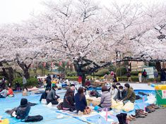 Local hotspot: Ueno Park. Local know best during cherry blossom season. All-day campers stake out the best views of the blooms.