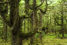 Moss covered trees   Naikoon Photograph - Old Growth Hemlock Trees ...