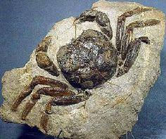 Avitelmessus -- a Cretaceous crab.