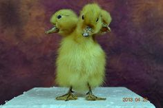 taxidermy of 3 head freak duckling made by 3 by lovefuture on Etsy, $45.00