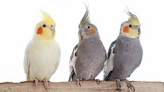 32 Cockatiels Who Are Now Very Wealthy (For Cockatiels, At Least)