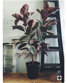 Obsessed with this ruby ficus elastica Such a tolerant and hardy indoor plant, these guys are such a great investment in your… Big Indoor Plants, Cool Plants, Outdoor Plants, Green Plants, Hanging Plants, Big Plants, Ficus Elastica, House Plants Decor, Plant Decor