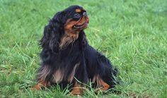 English Toy Spaniel Dog Breed