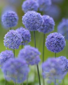 Allium azureum Bulbs - Blue Allium | DutchGrown®