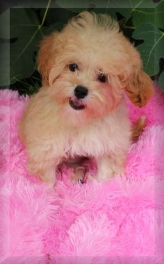 Maltipoo Puppies This Is Another Male Puppy Just Placed For Sale