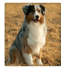 """The Australian shepherd makes for """"a delightful and loyal companion and a great family dog,"""" according to the United States Australian Shepherd Association (USASA). The American Kennel Club (AKC) concurs, citing the Aussie's tendency to """"want to always be near their families The AKC also describes the Australian shepherd as """"energetic"""" and possessing """"strong herding and guarding instincts."""""""