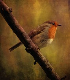 Robin by clint hudson, via Flickr