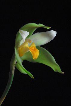 LYCASTE  ( Orchid ) - by vishu shillong