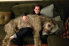 21 Reasons Why Cows Are Basically Just Really Big Dogs Really Big Dogs, Huge Dogs, I Love Dogs, Lap Dogs, Dogs And Puppies, Corgi Puppies, Doggies, Irish Wolfhound Puppies, Irish Wolfhounds