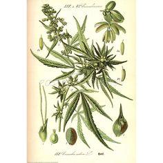 Cannabis Sativa Botanical Illustration Art Poster Print - 24x36