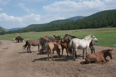 Mongol horses hanging out on the earth road; August 2010