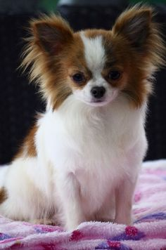 Noro the Chihuahua Cute Baby Puppies, Long Haired Chihuahua, Teacup Chihuahua, Chihuahua Puppies, Papillon Dog, Cute Dog Photos, Pet Dogs, Doggies, Animals