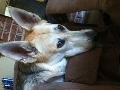 #siren#mydog#germanshperd