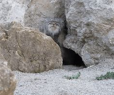 Pallas's Cat discovers hidden camera this is cool i like how the cat walked up to it and just stared at it.