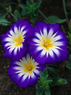 Colorful Blooms of Tricolor Morning Glory