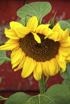 Every summer we plant a bazillion sunflowers at my house. They are my favorite flower. They are almost like magic because they make people smile just by looking at them.