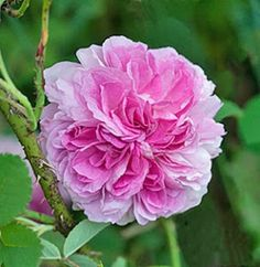 Damask Rose: Rosa damascena incarnata AKA 'Blush Damask' (origins unknown, by 1759)