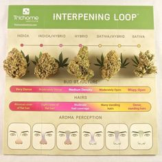 Interpening is a method used to identify and understand cannabis variety, based on interpreting the plant's terpenes and flower structure.