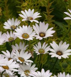 Monrovia's Avalanche White Sun Daisy details and information. Learn more about Monrovia plants and best practices for best possible plant performance.