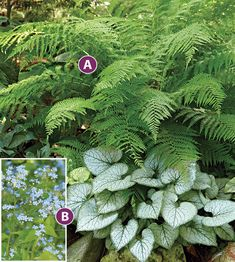 LADY FERN and BRUNNERA A lovely pairing for the shade: If your border is short on sunlight, fill it up with this lush, shade-loving combo. It will keep your garden looking fresh all season long. Tall Shade Plants, Shade Loving Shrubs, Shade Garden Plants, Shade Flowers, Spring Flowers, House Plants, Partial Shade Plants, Shade Landscaping, Landscaping Ideas