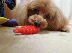 お気に入り❤️❤️ #犬#わんこ#愛犬#トイプードル#トイプー#ふわもこ部#トイプードル部 #ペットネット#肉球 #gm#ig_dogphoto #dog #mypet #toypoodle #todayswanko #instalike#instadog #dogphotography#bestfriends_dogs