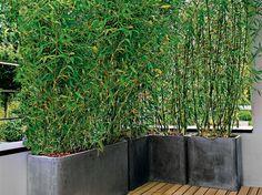 Bamboo hedge in pot for the balcony Garden decoration - Elle Decoration Bamboo hedge i Bamboo Hedge, Bamboo Garden, Bamboo Plants, Patio Plants, Bamboo Wall, Rooftop Garden, Balcony Garden, Small Gardens, Outdoor Gardens
