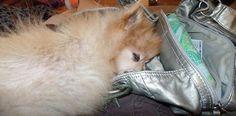 Pomeranian- Rayedar asleep in Mommy's purse