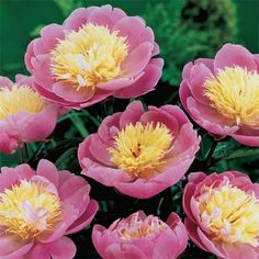 2014 garden addition Bowl of Beauty Peony