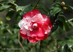 Camellia japonica 'Roberta Hardison Variegated'