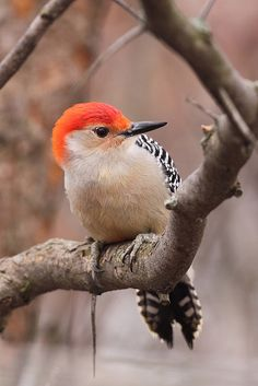 Do you like this beautiful color of Red-Bellied Woodpecker? I love this color.....