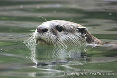 African Clawless Otter Picture