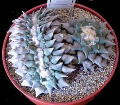 Ariocarpus retusus crest