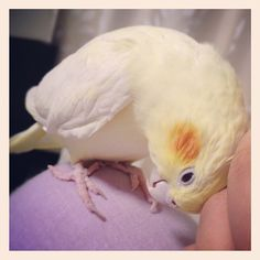 I miss my cuddly cockatiel. Wish I could get another bird. They are the best pets.