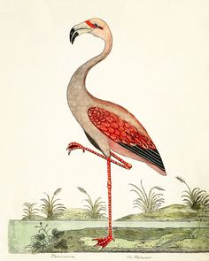 Vintage Illustration Flamingo, A Natural History of Birds: Illustrated with a Hundred and One Copper Plates, Eleazar Albin and William Derham, Sibylla Merian, Historia Natural, Flamingo Art, Bird Illustration, Vintage Birds, Vintage Wood, Antique Prints, Bird Prints, Botanical Art