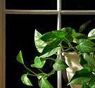 Seven (potentially) evil houseplants