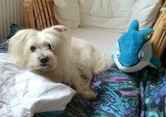 Malteser Mix Rocky  Einfach ein toller kleiner Hund       Mehr lesen: http://d2l.in/59  dogs2love - Gassi gehen zum Verlieben. Partnerbörse für alle, die Hunde lieben.  Bild, Dating, Foto, Hund, Partner, Rasse, Single