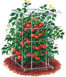 Growing Tomatoes - To control the height of tomato plants they can be grown within cages. Grow them along basil, oregano, parsley, carrots, marigold, Alliums, celery, Geraniums, Petunias, Nasturtium, Borage, any type of onion or chives. Avoid planting them with Black walnut, corn, fennel, peas, dill, potatoes, beetroot, brassicas (kohlrabi, cabbage, etc), rosemary. It helps roses, peppers, asparagus as it repels asparagus beetle.