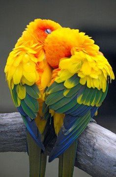 Sun Conures-twist, Blue, yellow, and red feathers like the painting on her face