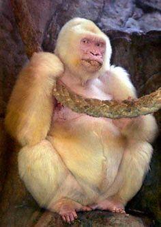 Albino Gorilla #animals #albino