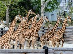 Após seis anos de obras, o Jardim Zoológico de Paris reabrirá ao público no próximo sábado, 12 de abril - 21 (© Abacapress)