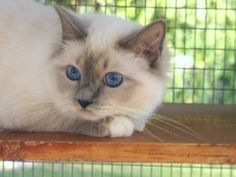 Blue Point Birman Cat