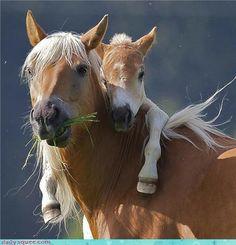 Haflinger Horse and Pony, Austria